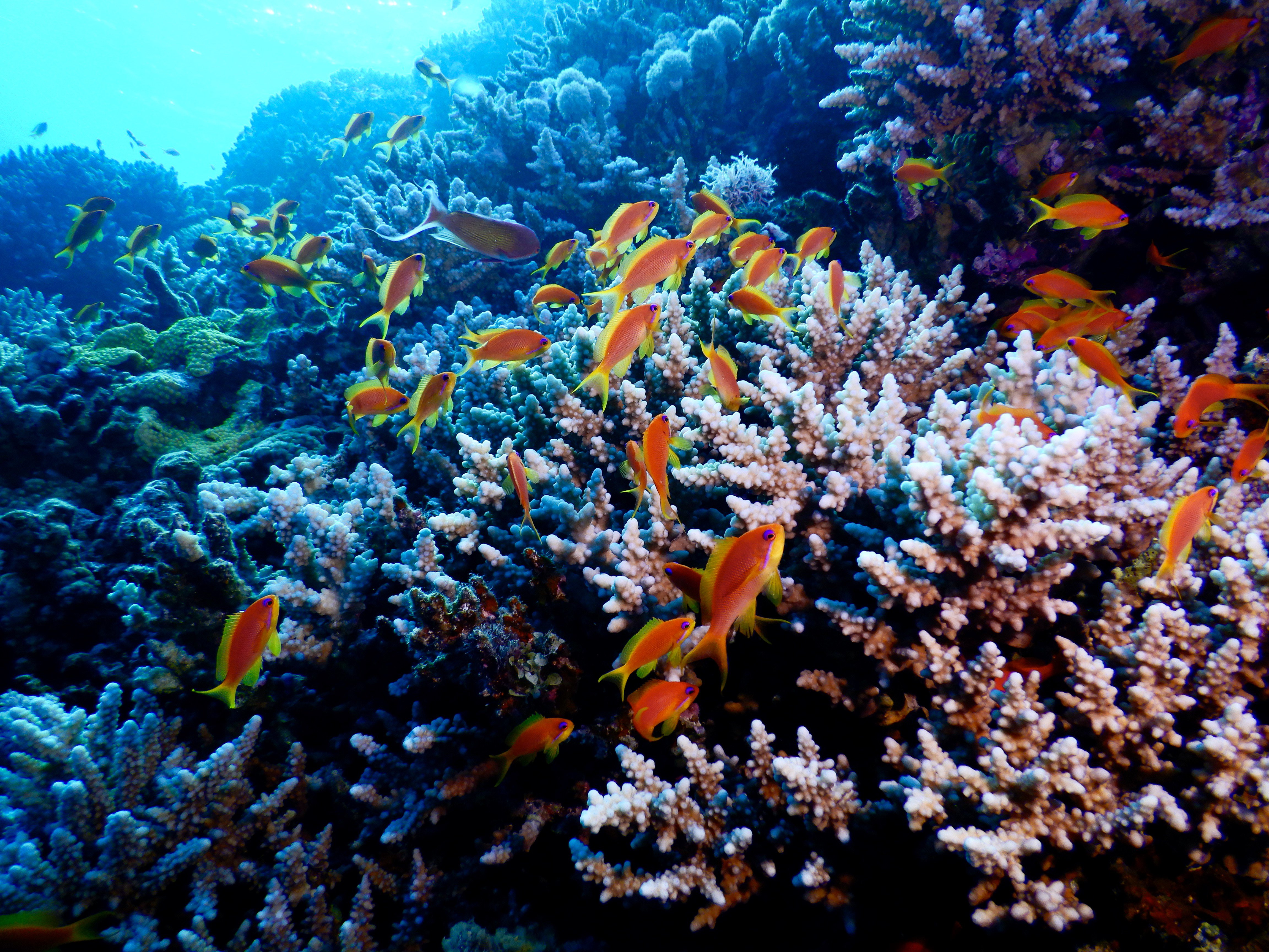 Red Sea corals_Copyright Transnational Red Sea Center:_Ove Hoegh-Guldberg.jpg
